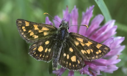 The chequered skipper (Carterocephalus palaemon)