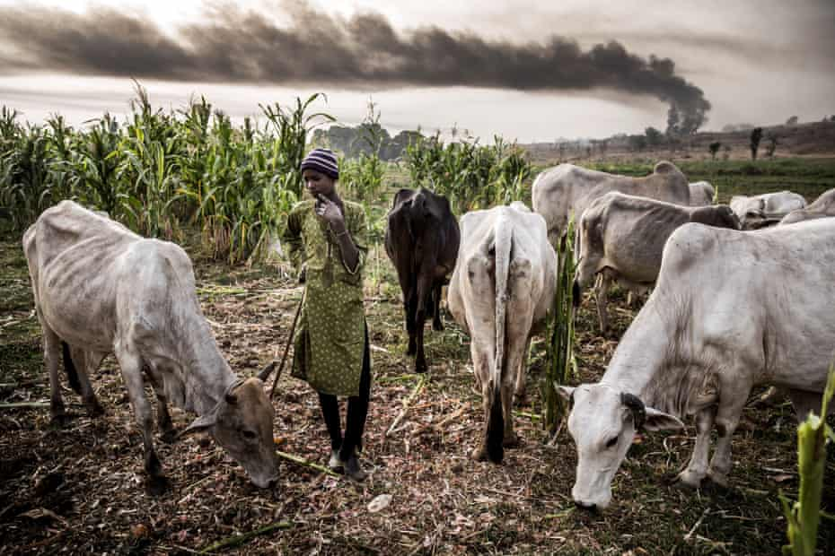 A Hausa-Fulani boy stands with his grazing cattle near farms in the outskirts of Sokoto, Sokoto state, Nigeria. A huge expansion of farming in Nigeria has cut access to grazing land for nomadic herders and fuelled violence.