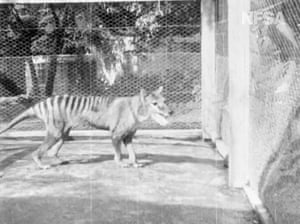 Footage of the last known thylacine (Tasmanian tiger) prowling around his cage at Beaumaris Zoo in Hobart, Tasmania, in 1935. According to experts, the footage was filmed months before the now-extinct animal died
