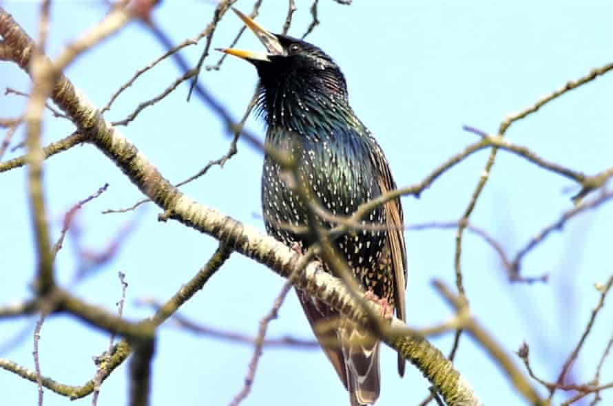 A starling in song
