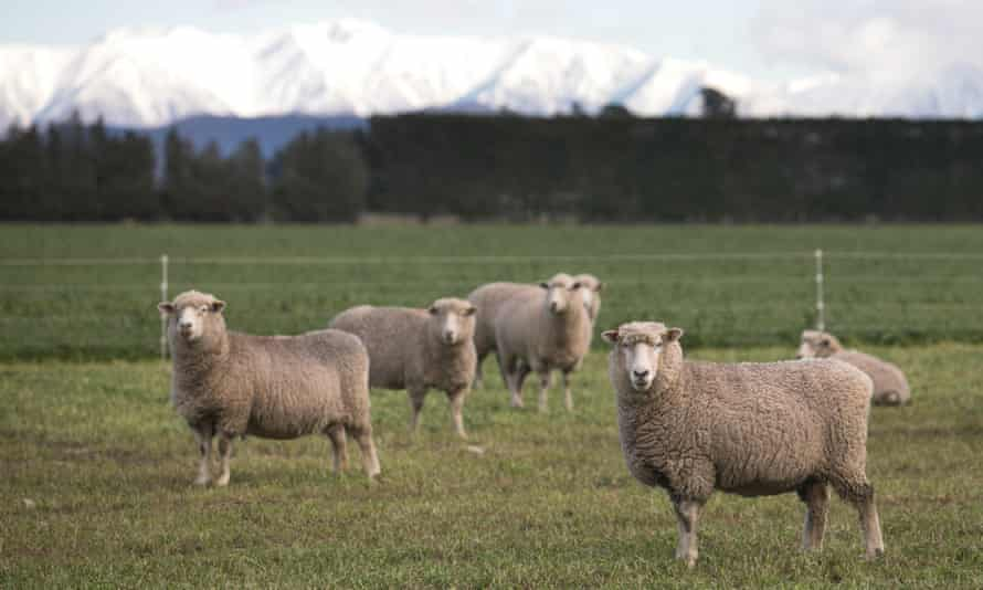 Sheep outside the city of Christchurch.
