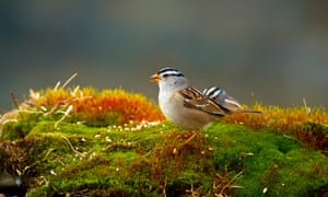 The new research analysed the effect of the neonicotinoid imidacloprid on white-crowned sparrows that migrate from the southern US and Mexico to northern Canada in summer.