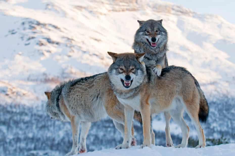 European grey wolves in Norway.