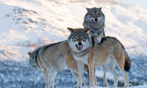 No pack drill please: European grey wolves.