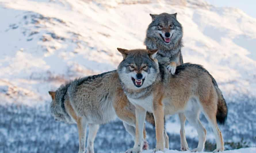 Signs of resilience … there are now more wolves in Europe than in the US.