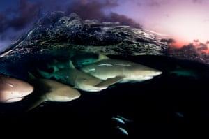 Lemon shark on patrol below surface at dusk in Bahamas a shark sanctuary.