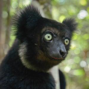 Indri, the largest of all Madagascar lemurs.