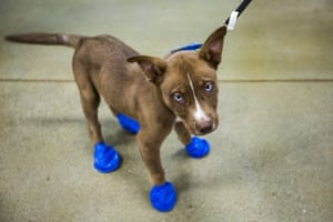 Arrow sports elastic booties at a PetSmart in Tempe, Arizona, on Tuesday 20 June. Phoenix radio station KSLX handed out the protective coverings to protect dogs' paws from the hot pavement