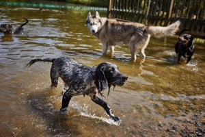 Dogs cool off in the dog pond at Hampstead Heath during the heatwave in London, England