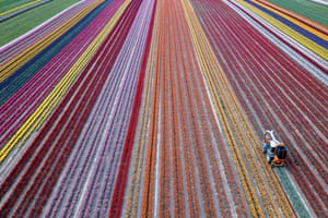 Grevenbroich, Germany Blooming tulips are harvested in the Rhine district of Neuss