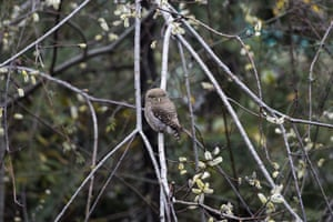 An Asian barred owlet sits in a bare willow tree in Dharmsala, India