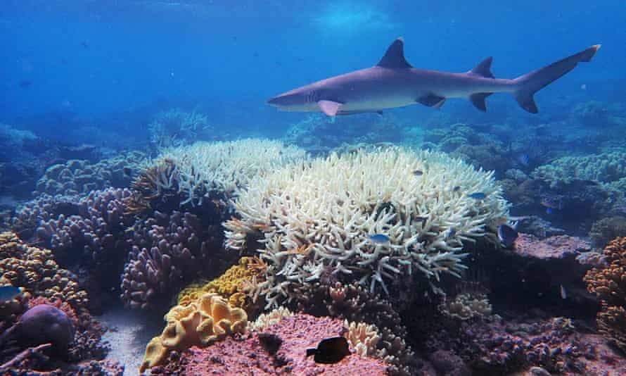 Coral on the Great Barrier Reef, which has suffered its most widespread coral bleaching on record.