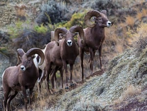 Bighorn sheep graze in the Upper Missouri River Breaks National Monument, Montana, an area home to numerous species of mammals, birds, reptiles and fish