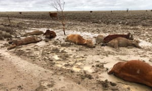 Dead cattle at Eddington Station in Queensland, Feb 8th. Photo: Rachel Anderson