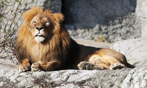 escaped lions and tigers back in cages at zoo in germany world