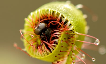 It's a bug's life: the sundew Drosera capensis devours an unlucky insect.