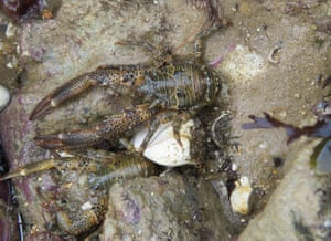 Two squat lobsters in a rockpool