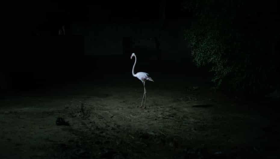One of Ali Abou Hussein's flamingos roaming around his farm