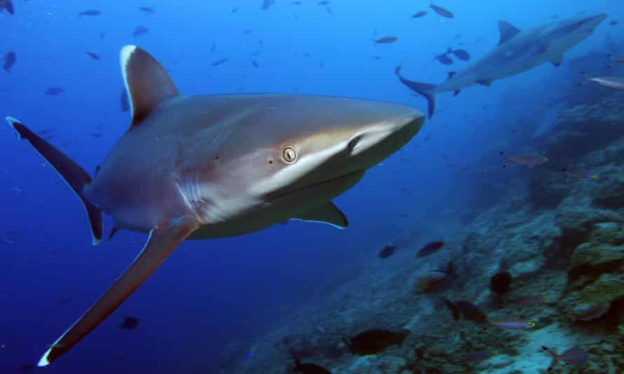 A silvertip shark swimming in Beqa lagoon, near Suva, the capital of Fiji.