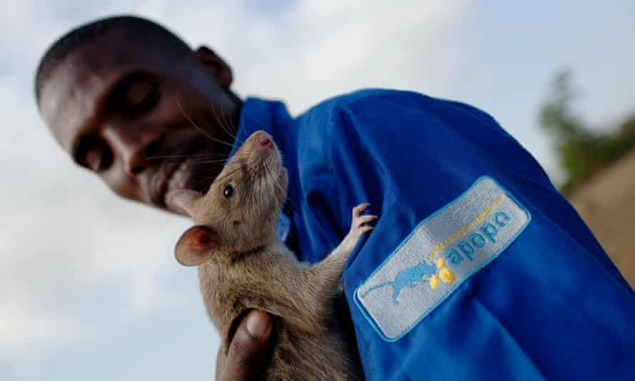 A baby giant African pouch rat is handled by its trainer after completing an exercise at the grounds of a Belgian NGO in Morogoro, Tanzania on October 27, 2010.