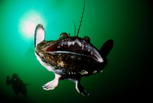 An anglerfish, Norway.