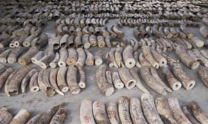 Some of the seized ivory at a holding area in Singapore.