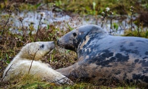 Seals on the Lincolnshire coast. Donna Nook National Nature Reserve