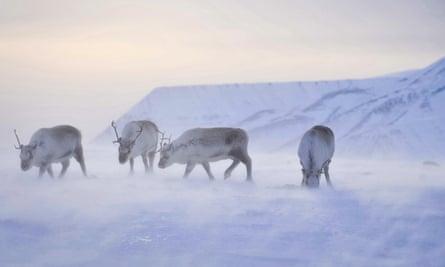 Wild reindeer forage for food on the island of Spitsbergen in the Svalbard archipelago.