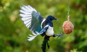 A magpie feeding from a coconut bird feeder in a Surrey garden.