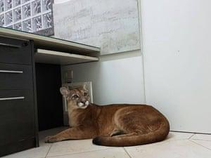 A puma in an office building in Itapecerica da Serra, São Paulo state, Brazil.