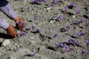 A worker harvests saffron flowers in Krokos, Greece