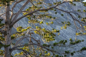The fight to save the Mount Mulanje endangered cedars: Mulanje Cedar's needled canopy