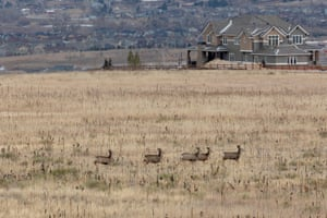 Mule deer at Rocky Flats National Wildlife Refuge near Denver, Colorado, USA.
