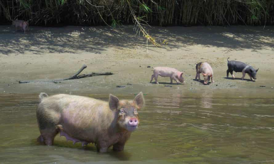 In recent months, one of the pigs' most devoted caretakers became increasingly concerned about their health.