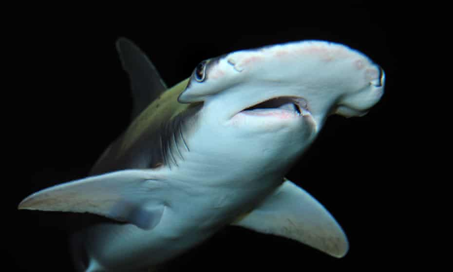 Bonnethead sharks were among the species seen in the Florida canal.