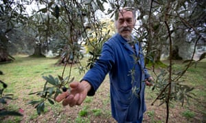 Di Noia says olives still on the trees make a better blend of oil.