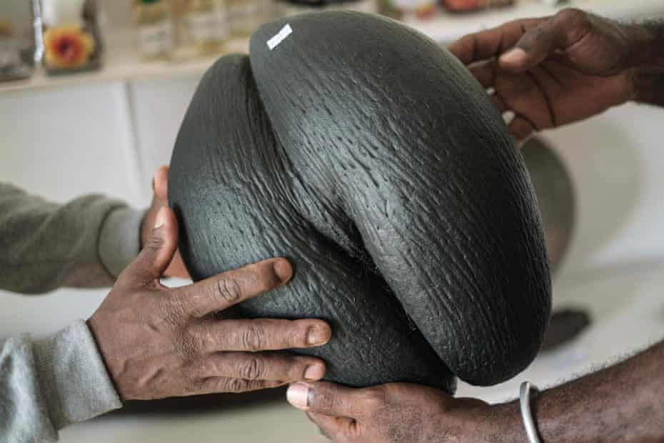 An oiled coco de mer shell is sold as a tourist souvenir in Seychelles International Airport