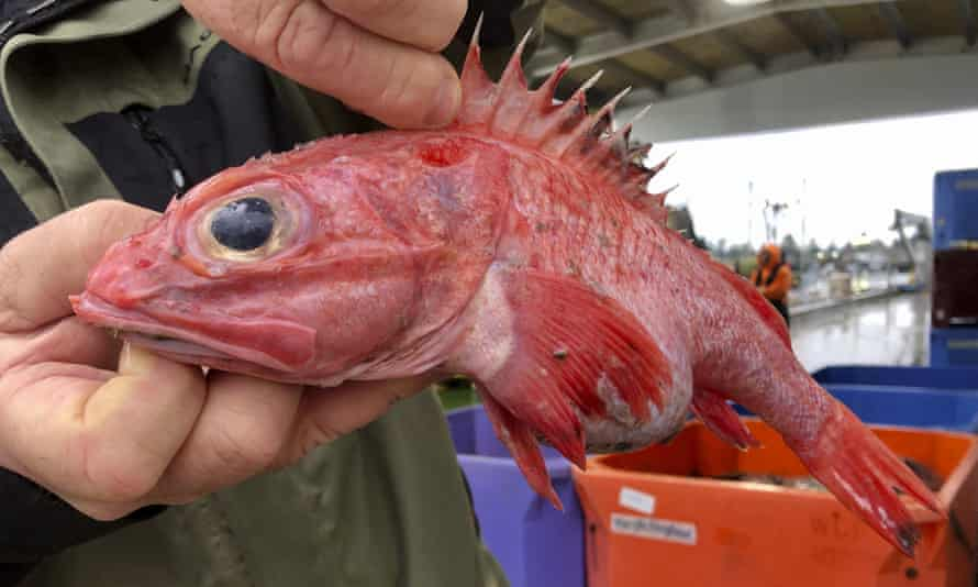 Kevin Dunn, who fishes off the coasts of Oregon and Washington, holds an aurora rockfish at a processing facility in Warrenton, Oregon, earlier this month.