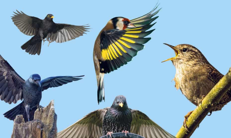 Left to right: the jackdaw, blackbird, goldfinch, starling and wren.
