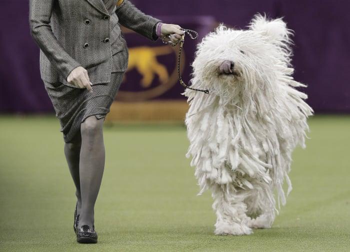 Rumor the German shepherd named Westminster's best in show