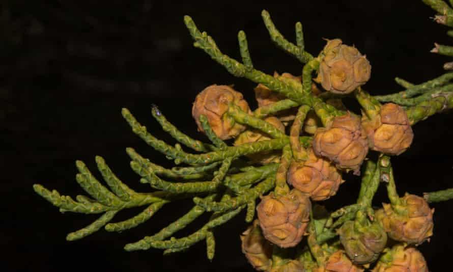 Close-up of a pencil pine