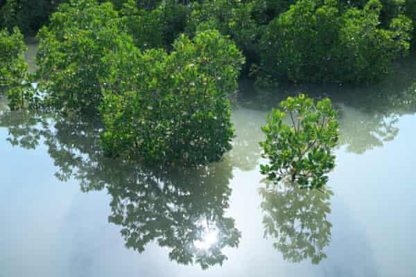 Shimajiri Mangrove forest on Miyako island, Japan, home to green status Kandelia obovata mangrove trees
