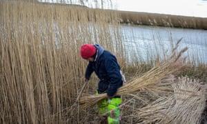 Wally Mason at work cutting reed