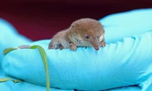The pygmy shrew, Sorex minutus, which also undergoes Dehnel's phenomenon.