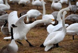 Whooper swans fight at lake Tysslingen, Central Sweden