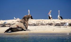 A sea lion observes pelicans at Seal Island near Rockingham in Western Australia.