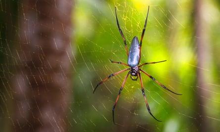 Red-legged golden orb-web spider.