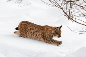 A one year old Eurasian lynx stalks prey with outstretched claws, Germany