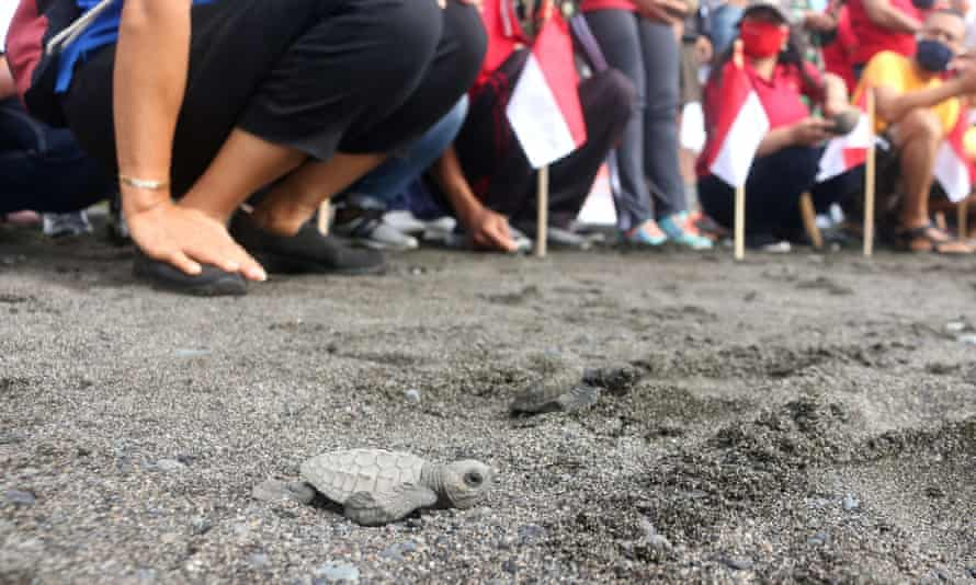 A baby turtle is released at a beach in Gianyar, Bali, Indonesia.