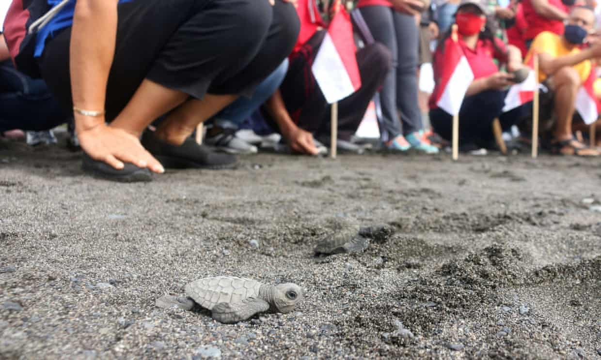 A baby turtle is released at a beach in Gianyar, Bali, Indonesia. Photograph: STAFF/Reuters
